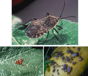 Squash Bug life cycle