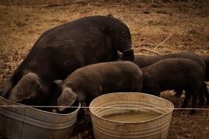 Pigs10