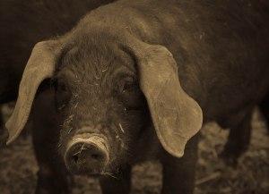 Pigs7