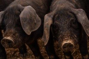 Pigs8
